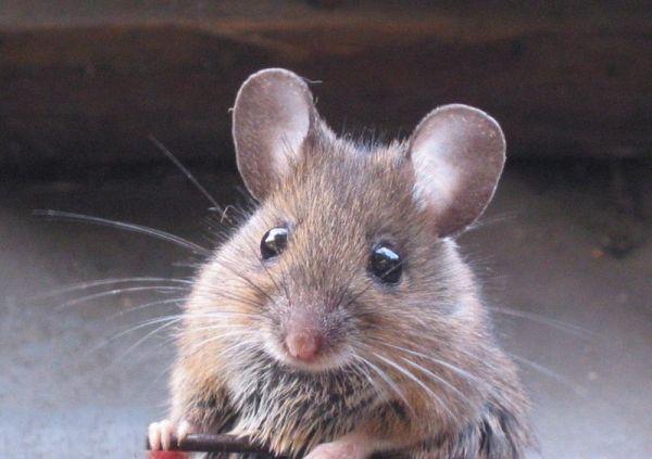 Tikus Alami Kasus Narkoba